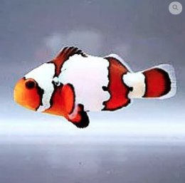 Amphiprion Ocellaris Snowflake S