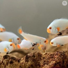 Amphiprion ocellaris platinum