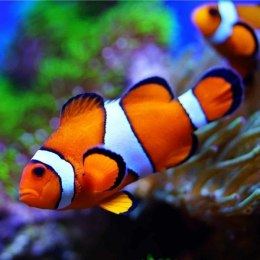 Amphiprion ocellaris S/M