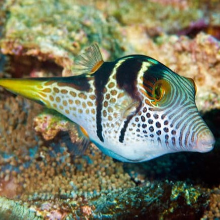Canthigaster valentini S